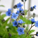 【アンチューサタッセルブルーAnchusa春苗ガーデニング花苗イングリッシュガーデンガーデン花壇鉢植え寄せ植え】