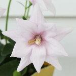 キキョウアストラセミダブルホワイト1鉢Platycodongrandiflorus【多年草】【キキョウ】【桔梗】【バルンフラワー】