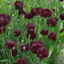 セントーレア ブラック イングリッシュ ガーデン