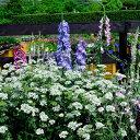 オルレア グランディーフローラー イングリッシュ ガーデン ガーデニング