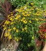 5 냄비 세트 ルドベキア タカオ 1 화분 3 호 Rudbeckia triloba ' Takao '
