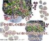 4葉子黑色三葉草1鉢Trifolium repens var.nigricans torifoniumu