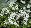 프라티아안게라타 1하치 3호 신고 10월 하순~추묘선행 예약추묘동묘춘묘화묘다년초 영어 가든모종 화분뜰 심어 가드닝 화단 그랜드 커버백화Pratia angulata