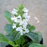 珍しい白花アジュガホワイトアルバ1鉢AjugaWhiteAlba