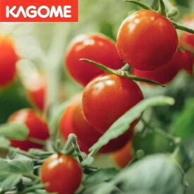 【野菜苗】スゴ甘 ミニトマト KAGOME あまたん 1鉢3.5号【お届け中】甘い 背が低い
