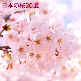 【花木】日本の桜20選 1鉢 3.5号ロング 選べる20種【お届け中】Cerasus サクラ さくら 桜 花が咲く木 接ぎ木苗