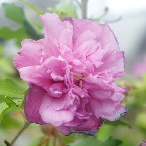 花木 ムクゲ 木槿 むくげ フレンチキャバレー 4号ロングポット 鉢植え Hibiscu 地域限定送料無料