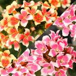 覆輪カランコエピトンシリーズ選べる2色1鉢3.5号【お届け中】Kalanchoe【ピンクのプラ鉢でお届け】お花