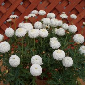 花苗 マーガレットマルコロッシ 1鉢3号【お届け中】 Argyranthemum frutescens イングリッシュガーデン 白花 背丈低い ガーデニング 寄せ植え 鉢植え 花苗 春 苗 花 多年草