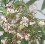 【花木】大実万両宝船実付き5号1鉢Ardisiacrenata