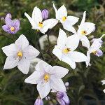 ヤマホロシソラナム・ジャスミノイデス3.5号1鉢Solanumjasminoides【2012年HappyGarden新登場