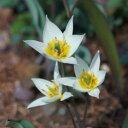 原種チューリップ 枝咲きたくさんの花をつけますトルケスタニカ10球 球根 セット Tulip 【鉢植え 庭植え 寄せ植え ガ…