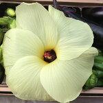 花苗野菜苗花オクラ花が大きくサラダで食べれる花3株セット1年草夏苗