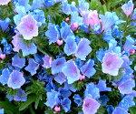 エキウムブルガレEchium春苗ガーデニングイングリッシュガーデンガーデン花壇鉢植え寄せ植え】
