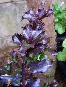 西洋ヒイラギ ブループリンセス 5号1鉢 Ilex × meserveae Blue Princess お取り寄せ 花苗 寄せ植え 柊 ガーデニング ヒイラギ 苗 鉢植え 低木 銅葉