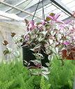 トラディスカンチア ゼブリナ クオーダリー 6号Tradescantia zebrina Quadricolor【ハンギンググリーン 観葉植物】