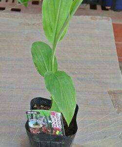 夏の香味野菜 ミョウガ 茗荷 苗1鉢1芽 野菜苗 05P02jun13