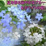 ルリマツリプルンバゴ1鉢Plumbagoauriculata