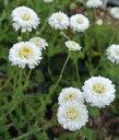 八重咲きカモミール 1鉢Chmomilla nobile Flore Pleno【宿根 冬苗 秋苗 白花 春苗 ハーブ】