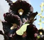 黒花ホリホックロゼアニグラ1鉢【2009☆新登場】