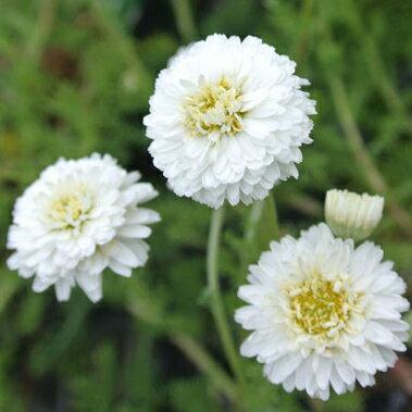 八重咲き カモミール 1鉢 Chmomilla nobile Flore Pleno【宿根草 冬苗 秋苗 白花 春苗 ハーブ 苗 花苗】