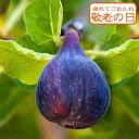 【敬老の日 ギフト 果樹】 実付き 黒イチジクの木 ビオレソリエス 1鉢 6号【敬老の日9月12日〜16日お届け】Viollette …