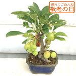 姫リンゴ盆栽姫リンゴ盆栽果樹鉢リンゴの木りんご林檎ミニ盆栽