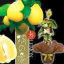 秋のギフト 果樹 レモンの木 レモン 璃の香 苗木 5号 1鉢【お届け中】柑橘類 柑橘 実のなる木 Lemon