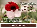 パンジー ゼラニュウム ペラルゴニウム1鉢3.5号 Pelargonium  【シルバーリーフ ニュアンスカラー 鉢植え イングリッシュガーデン】