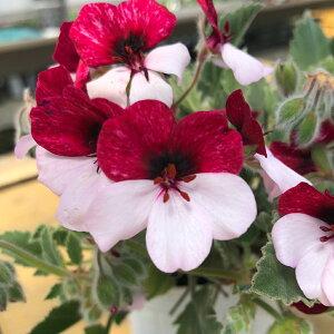 パンジー ゼラニュウム ペラルゴニウム1鉢3.5号 Pelargonium シルバーリーフ ニュアンスカラー 鉢植え イングリッシュガーデン