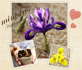 芽出し ミニアイリス 2種植え 1鉢 3球植え以上3号 花なし iris【お届け中 取り置き不可】球根植え 球根 セット 鉢植え 庭植え 寄せ植え ガーデニング