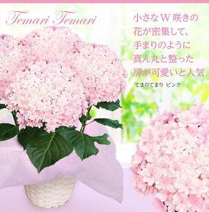 【母の日の贈答】母の日の西洋アジサイ選べる9種5号鉢【送料無料同梱不可母の日ギフト鉢花】