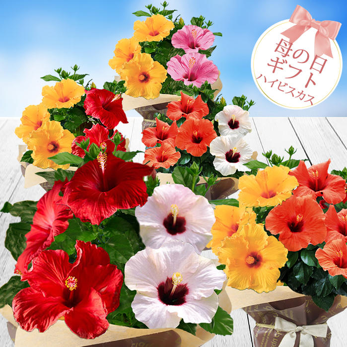 【母の日 プレゼント】【鉢植え】ハイビスカス ロングライフ 1鉢2色植え 5号 選べる花色【母の日のお届け 5月8〜12日先行予約】送料無料 【母の日ギフト 母 母の日 鉢花 花鉢 母の日 花 フラワーギフト お花】【0531】