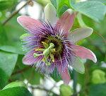 トケイソウベロッティー苗3号1鉢Passiflorabelottii