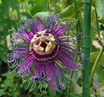 トケイソウインセンス苗3号1鉢PassifloraIncense