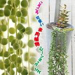 多肉植物パッチワークプランツセネキオビーンネックレス1鉢2.5号【お届け中】