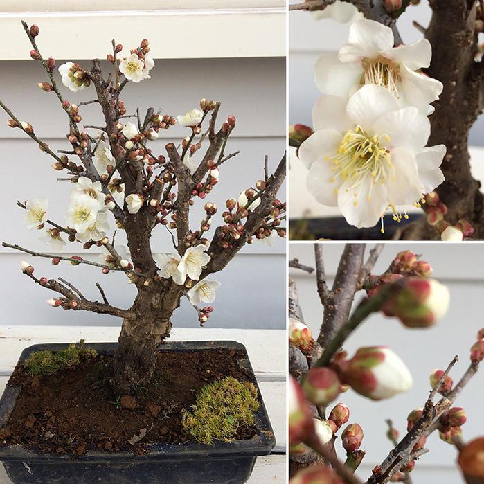 冬至梅 盆栽風 梅の木 白花 1鉢 盆栽鉢植え&サギナ 白花 鉢の形が選べる『縁起UP!新春梅』盆栽 ミニ 梅 寄せ植え
