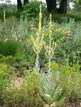 バーバスカムボンビビュフルム1鉢Verbascumbombyciferum>【ガーデニング花苗花苗イングリッシュガーデンガーデン花壇鉢植え寄せ植え】