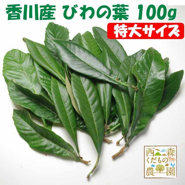 【送料無料】香川産 びわの葉《特選特大》100g(1袋 生葉 約10枚)♪[国産 無農薬](枇杷葉・びわ生葉)