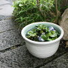Water lily bowl earthenware water lily bowl lotus bowl はす bowl killifish bowl bowl earthenware water ream bowl water bowl water lily bowl Shigaraki ware water lily bowl washbowl 11 white Kasumi su-0116 shopping marathon most suitable for a water lily bow