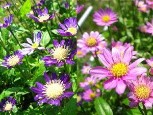 春の花・日陰にオススメです!「ミヤコワスレ 10・5センチポット苗」