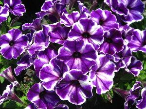一年草 ペチュニア 「クレイジーチュニア ブルーアイス」12cmポット苗