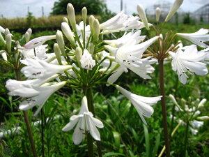 夏の花!ひなた向き宿根草「アガパンサス白花 12cmポット苗」