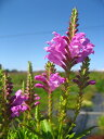 ひなた〜半日陰向き宿根草「ハナトラノオ ピンク花 10.5cmポット苗」
