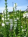 ひなた〜半日陰向き宿根草「ハナトラノオ 白花 10.5cmポット苗」