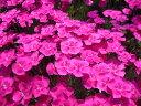 宿根草 乾燥に強い 「ダイアンサス ブルーヒルズ10.5cmポット苗」
