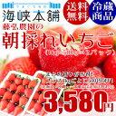 藤弘農園の朝採れいちご 1kg(500g×2パック) 山口県産ゆめのか 送料無料 いちご イチゴ 苺
