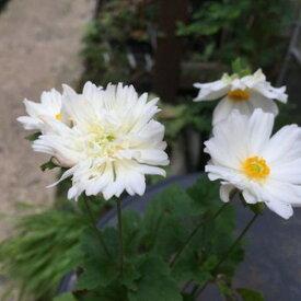 山野草:八重咲白花シュウメイギク