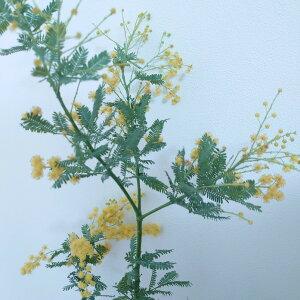 ミモザ アカシア 6号 苗木 銀葉 アカシア 苗 シルバーリーフ おしゃれ シンボルツリー かわいい 玄関 庭木