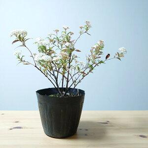 コデマリ 5号 苗木 植木 苗 庭木 生垣 鉢植え 切り花 小手毬 こでまり かわいい 白 花